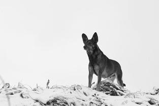 Wolf-like dog, Paldenling, Poland. 2011