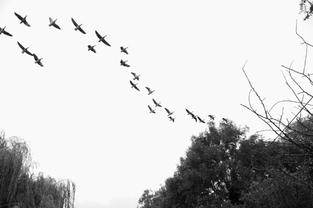 Wild geese, Padmaloka, UK. 2015