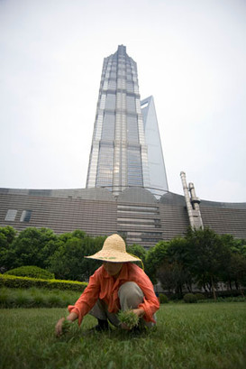 A female worker pulling out dry grass outside the Jin Mao Tower, Shanghai, China.