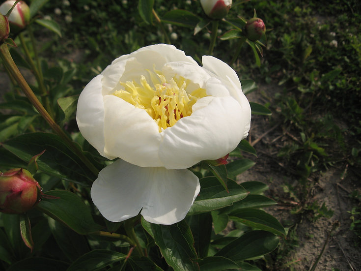 Japonaise blanche