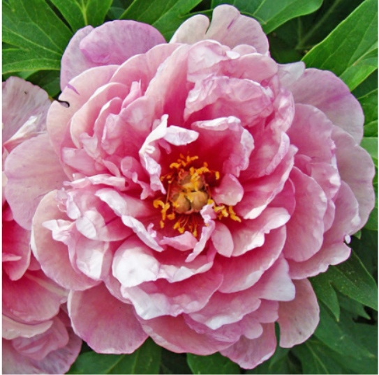 Pink Double Dandy