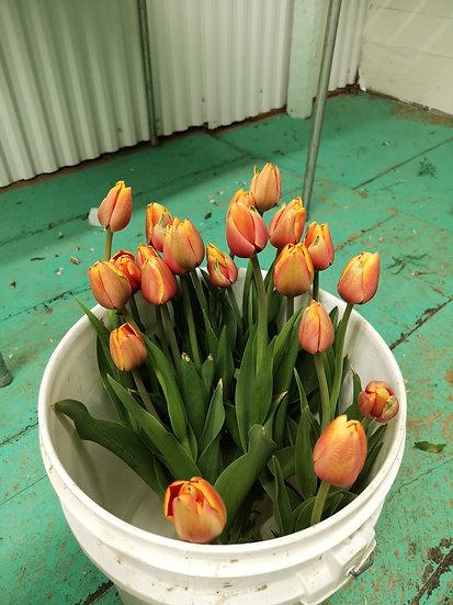 Tulipe el nino 50cm