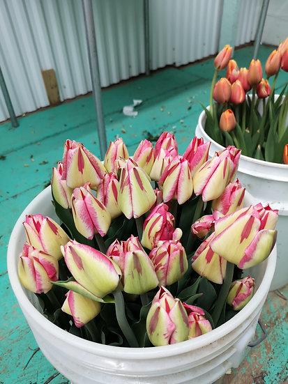 Tulipe spring break 40cm