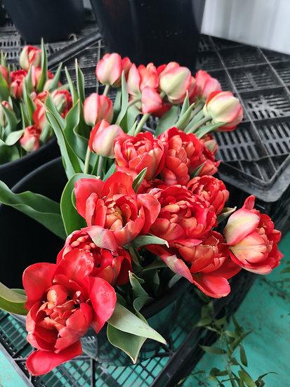 Tulipe double rouge 40cm