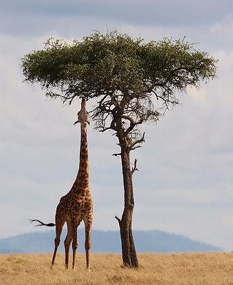 giraffe-2191662_1920.jpg