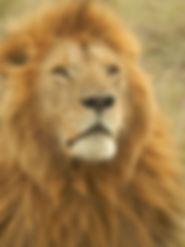 lion-1207312_640.jpg