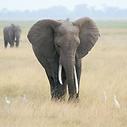 KENYA ELEPHANT SQ.png