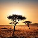 KENYA FIELD TREE SQ.png