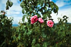 Guerlain - Rose Valley