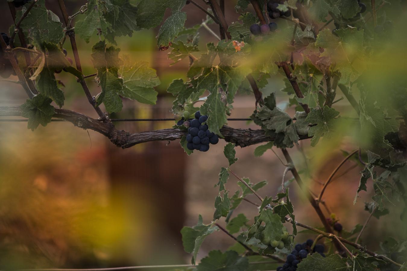 Armand_de_Brignac_GrapeHarvest_Reims_Sept2016_Jerusalmi_00013
