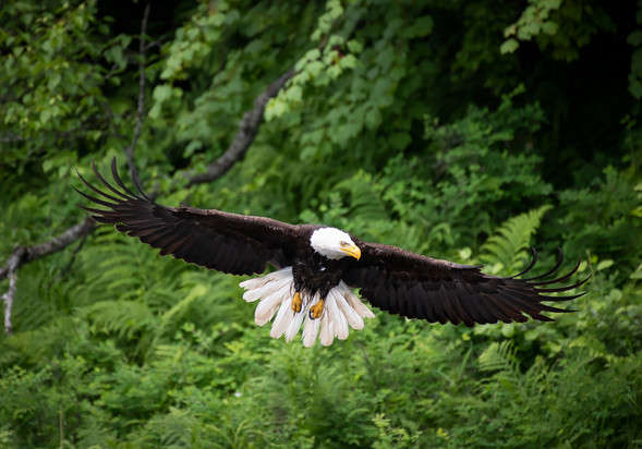 Bald Eagle Stretches His Wings