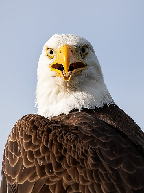Eagle Staring Contest