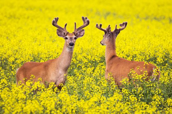 Bucks in a Canola Field