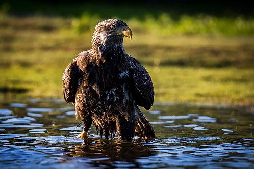Young Bald Eagle Bathing