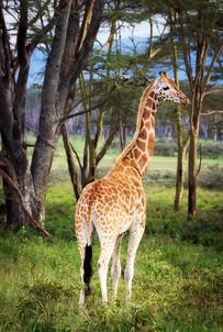 Giraffe in Lake Nakuru National Park