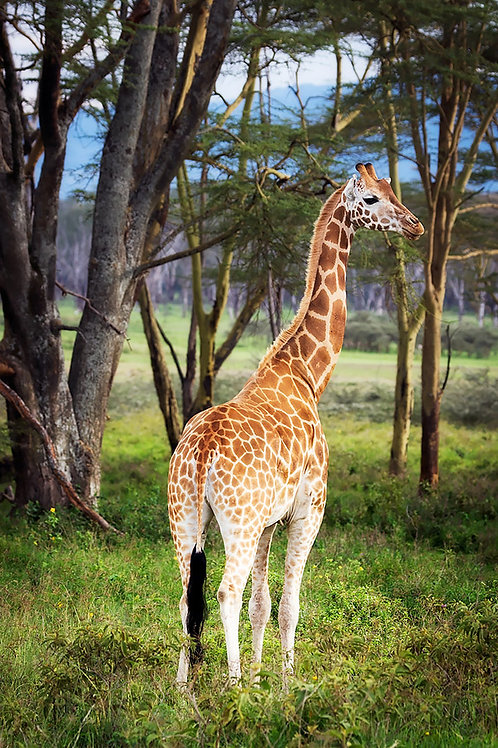 Giraffe in Lake Nakuru National Park
