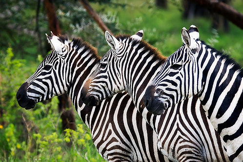 Zebra Lineup in Lake Nakuru National Park