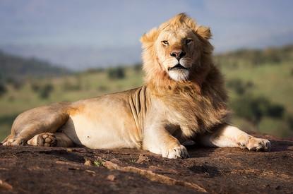 Male Lion in Maasai Mara