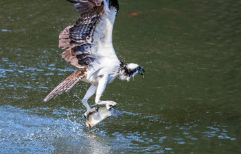 Osprey on Fernan Lake