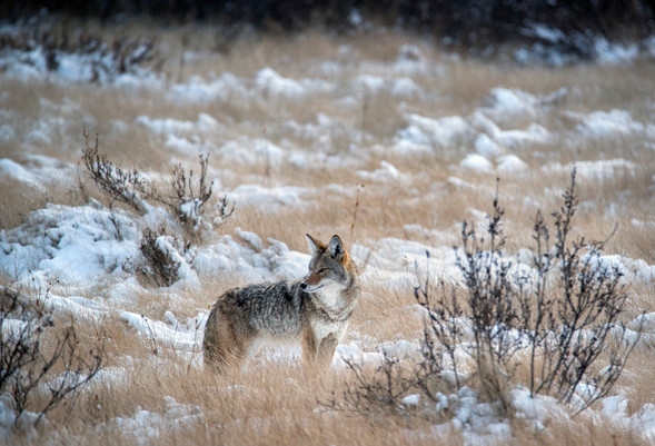 Coyote in Banff National Park