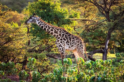Giraffe Grazing in Kenya