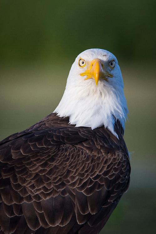 Eagle Mugshot