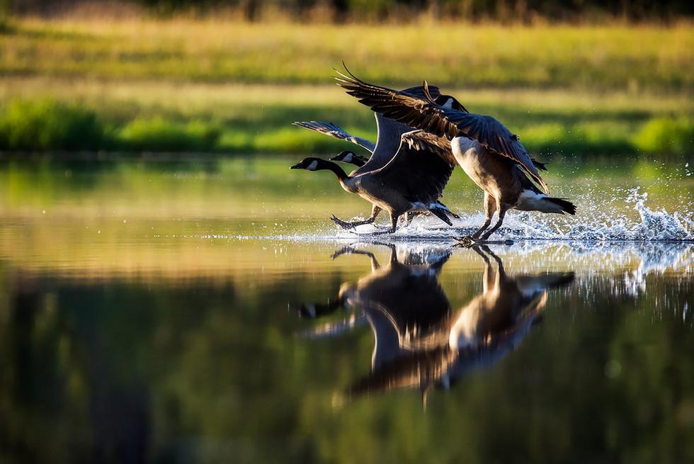Canadian Geese Water Landing