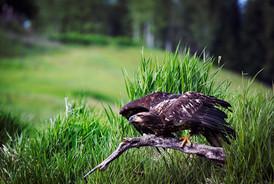 Crouching Eagle