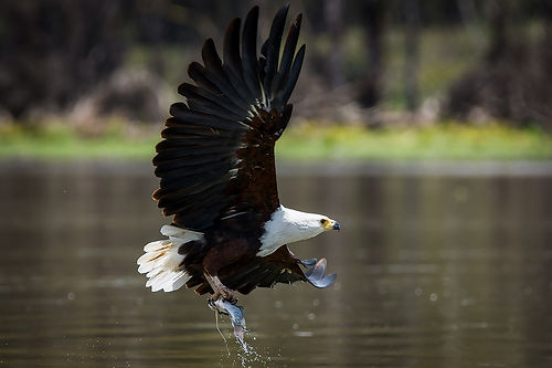 African Fish Eagle hunting.jpg