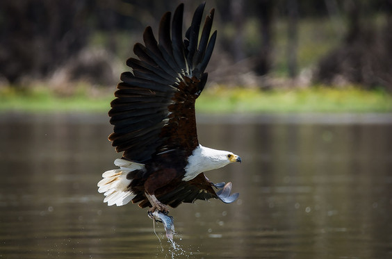 African Fish Eagle hunting