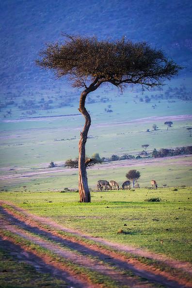 Masai Mara Acaia Tree