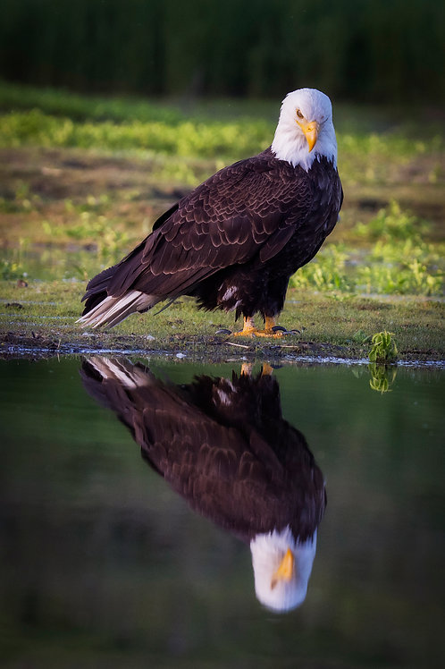 Bald Eagle Reflection