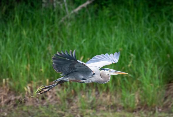 Blue Heron spreads its wings