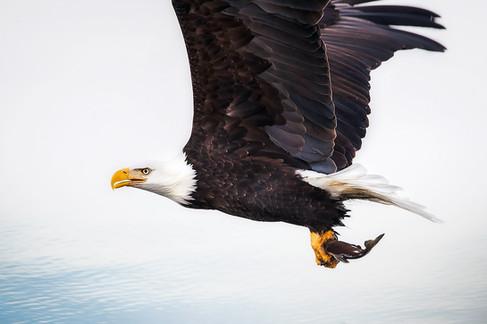 Bald Eagle catches Kokanee