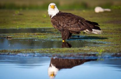 Eagle at Rest