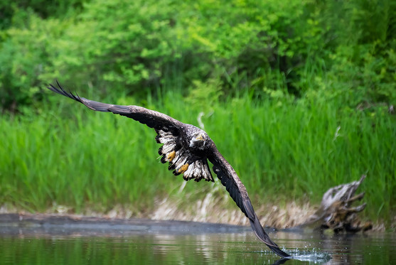 Eagle's Wing Taps the Water