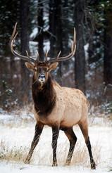 Elk Stands Alert