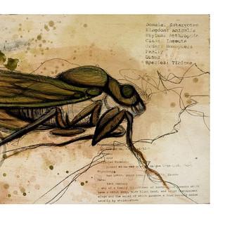 A Cicadae is A Cicadae
