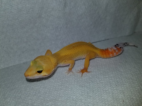 Reversed Stripe Leopard Gecko