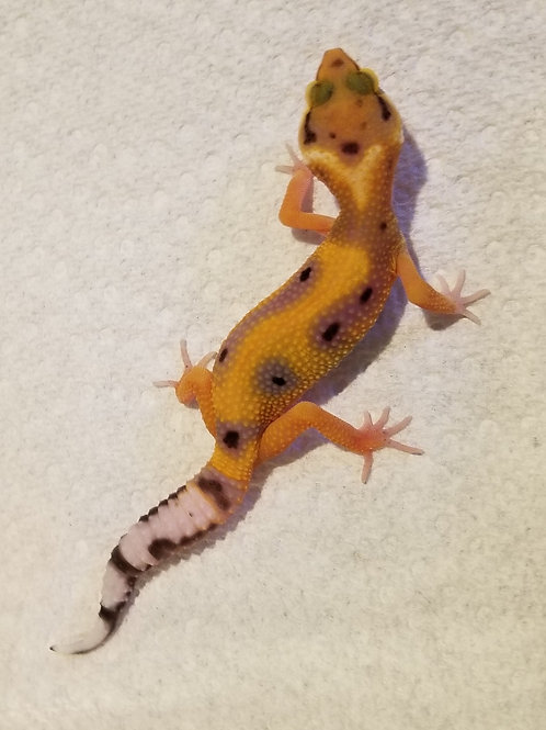 Jungle Designer Leopard Gecko