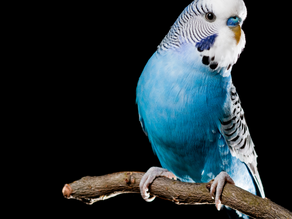 What you need to know about keeping pet birds