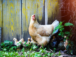 New to poultry??.. here's what you need to know about owning back yard chickens...