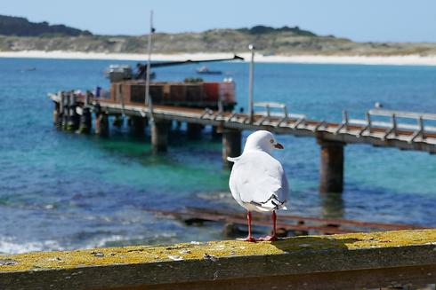 s-kaingaroa-seagull.png