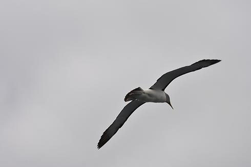 s-Albatross.png