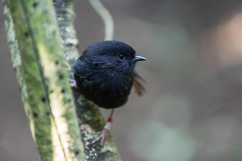 black-robin.png
