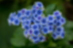 Forget-me-nots.png