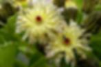 s-Embergeria-grandifolius.png