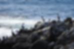 Pitt-Island-shags_0085.png