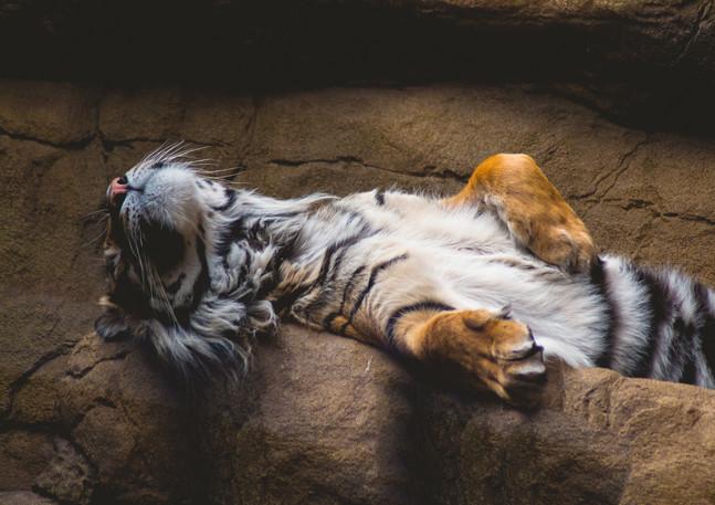 tiger sleep.jpg