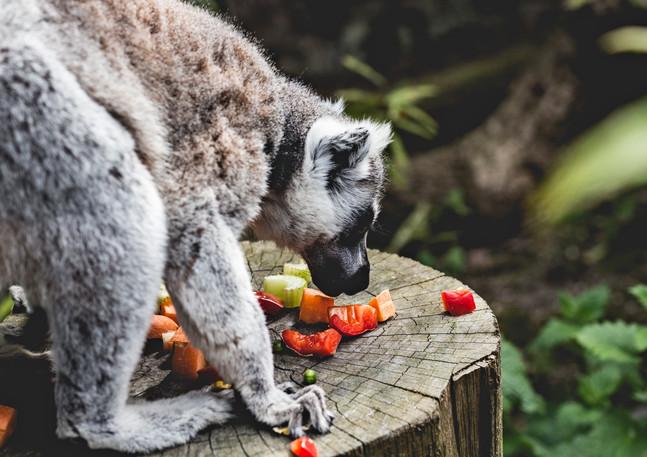 lemur 2 insta .jpg